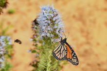 Banded Bee And Monarch Butterf...