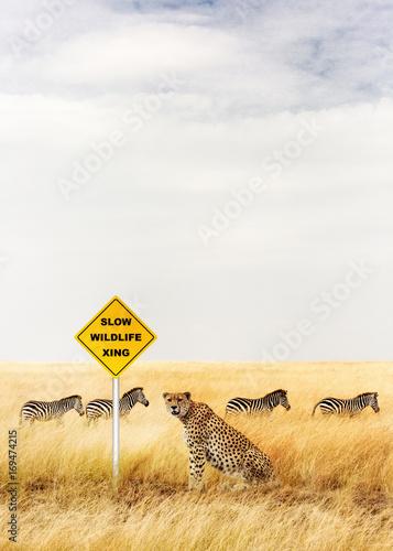 Cheetah Sitting at Wildlife Crossing Sign