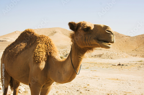 Spoed Fotobehang Kameel camel close up