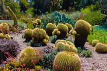 Barrel Cactus In Outdoor Garden