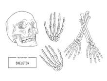 Human Skeleton, Sketch Vector.