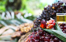 Palm Oil Seed In Farmer