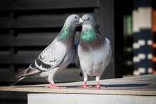 Couples Of Homing Pigeon Breed...