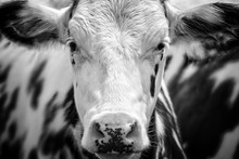 Close Up Portrait Of A Black And White Cow Facing The Camera