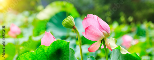 Garden Poster Lotus flower Beautiful lotus blooming in the pond natural landscape