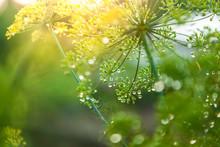 Green Umbrella Of Fennel
