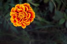 Flower Marigold On A Dark Natu...