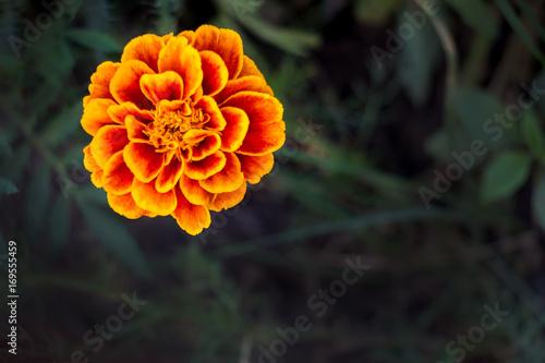 Flower marigold on a dark natural background Canvas Print