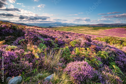 Poster de jardin Colline Heather and Bracken on Simonside Hills, which are popular with walkers and hikers, they are covered with heather in summer and are part of Northumberland National Park ,overlooking the Cheviot Hills