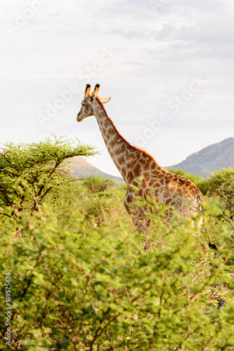 Autocollant pour porte Girafe Giraffe in the Erindi Private Game Reserve, Namibia