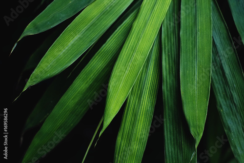 Low key bamboo leaves background, The leaves are beautiful detail.
