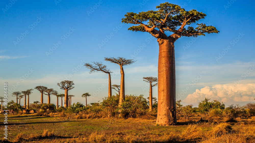 Fototapety, obrazy: Beautiful Baobab trees at sunset at the avenue of the baobabs in Madagascar
