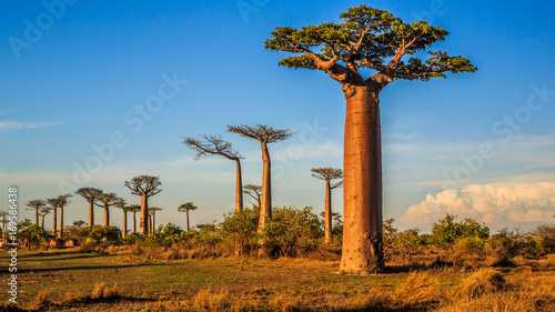 Poster Bomen Beautiful Baobab trees at sunset at the avenue of the baobabs in Madagascar