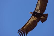 American Condor Spotted Above Route 1 (SR 1) Near Big Sur, California, USA.