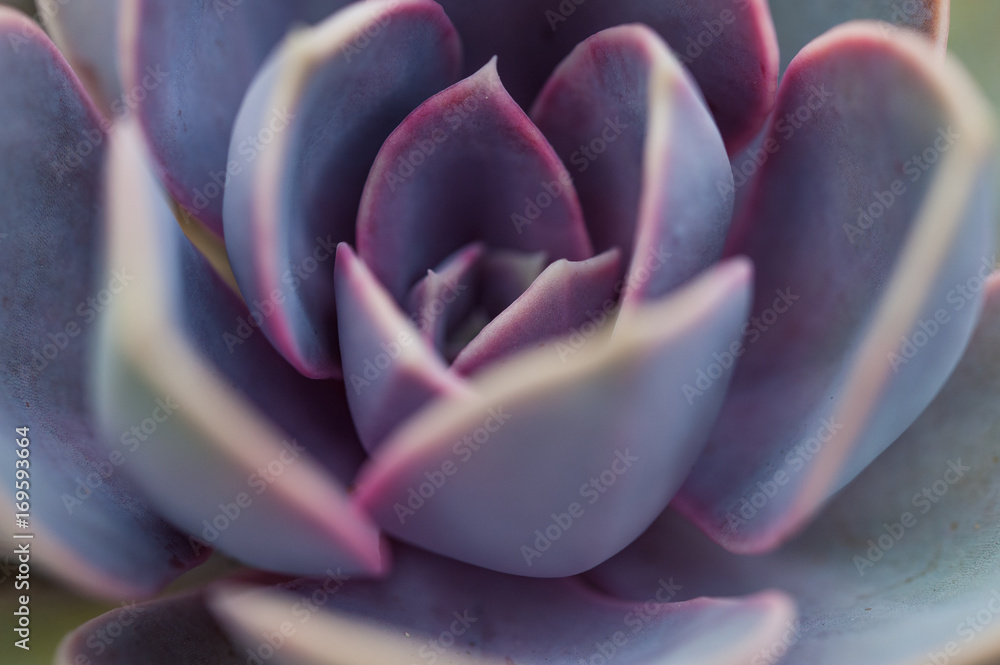 Fototapeta Close up macro of Echeveria 'Perle von Nurnberg' succulent plant.