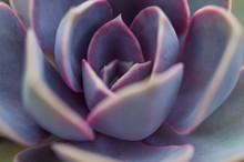 Close Up Macro Of Echeveria 'Perle Von Nurnberg' Succulent Plant.