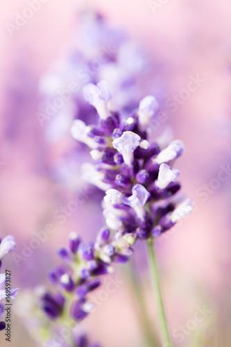 Cadres-photo bureau Lavande Lavender flowers.