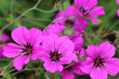 canvas print picture - Geranium psilostemon are well suited as soil coverers