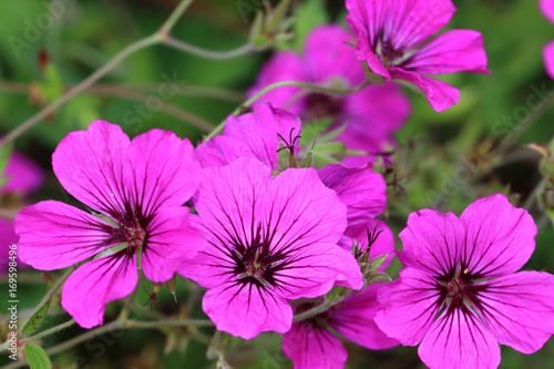 Geranium psilostemon are well suited as soil coverers