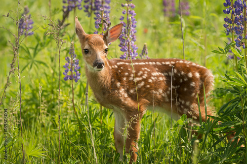 White-Tailed Deer Fawn (Odocoileus virginianus) Looks Out One Ear Back