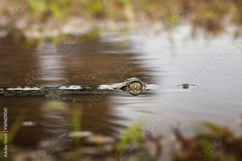 Crocodile head swiming on water