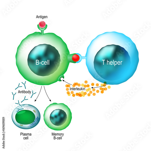 B-cell and T helper cells function. Canvas Print