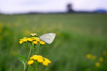White Butterfly On Yellow Flow...