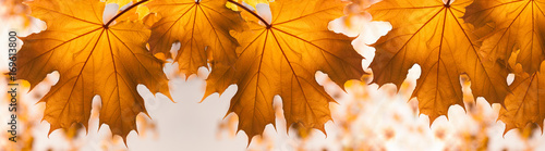 Photo  Autumn Background with red yellow Maple Leaves