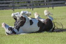 Gypsy Horse Mare Rolling In Grass Pasture
