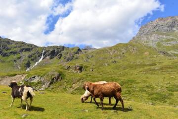 Schafe im Riffltal Kaunergrat/Ötztaler Alpen - Tirol