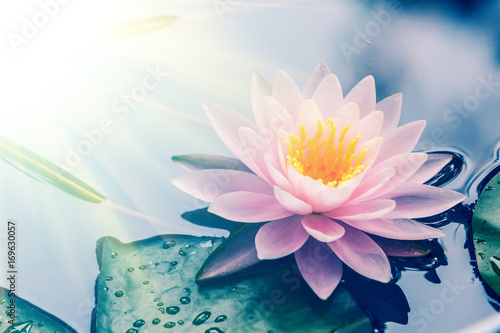 Poster de jardin Nénuphars waterlily blooming in the pond,beautiful natural plant
