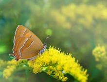 Lycaenidae Brown Hairstreak Bu...