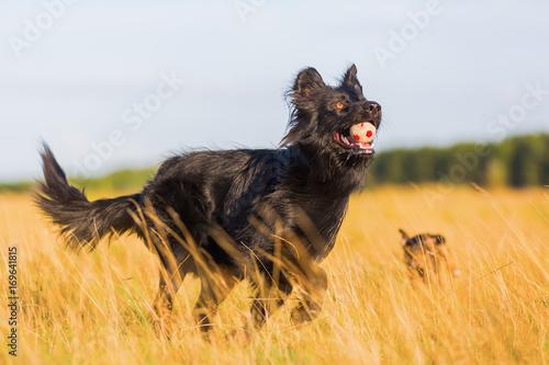 Fototapeta Harzer Fuchs - Australian Shepherd hybrid playing in the meadow obraz na płótnie