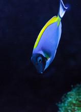 Powderblue Tang Fish Acanthuru...