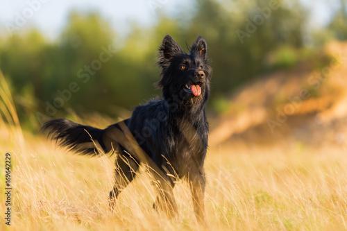 Fototapeta outdoor portrait of a Harzer Fuchs-Australian Shepherd hybrid obraz na płótnie