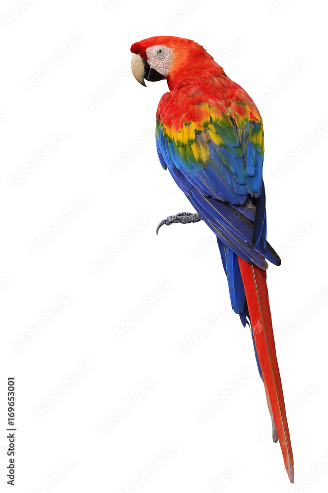 Scarlet macaw parrot bird showing back feathers detail from head to tail isolated on white background (Ara macao)