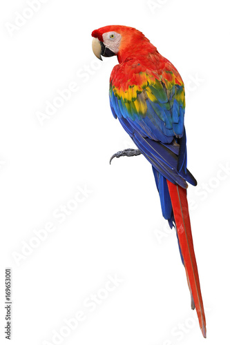 Photo Scarlet macaw parrot bird showing back feathers detail from head to tail isolate