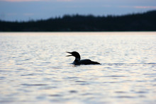 Loon Call On Lake In Northern ...