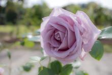 Blue Moon; Hybrid Tea Rose, Vi...