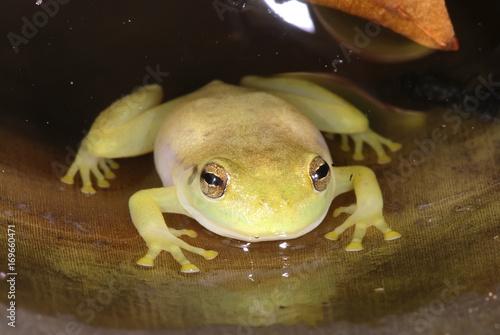 Photo Perereca-das-bromélias (Phyllodytes luteolus) | Yellow heart-tongued frog