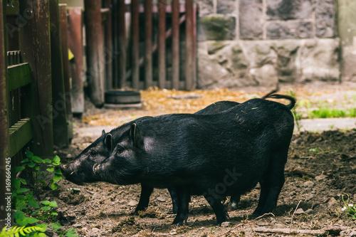 Photo Stands Ass świnki wietnamskie na wybiegu w zoo