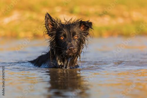 Fototapeta Harzer Fuchs-Australian Shepherd hybrid swims in a lake obraz na płótnie