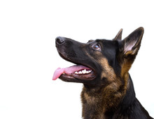 Cute German Shepherd Looking Up (isolated On White), With Copy Space On The Left