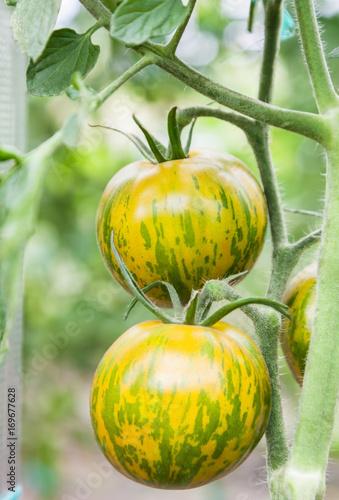 Cadres-photo bureau Zebra Green tomatoes growing on branch