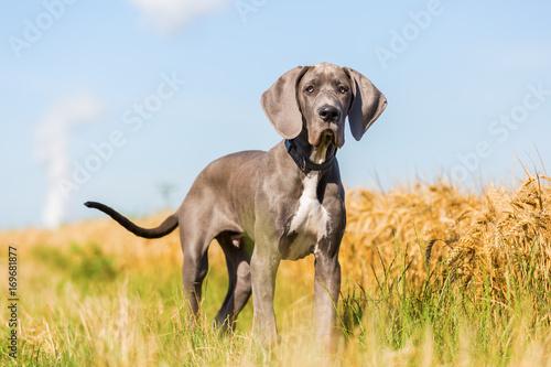 Fototapeta portrait of a Great Dane puppy on a country path obraz