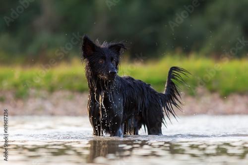 Fototapeta Harzer Fuchs - Australian Shepherd hybrid standing in a lake obraz na płótnie