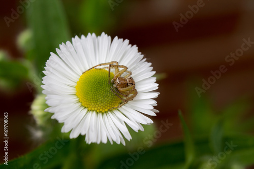 Photo Crab Spider atop Daisy Flea-bane 1