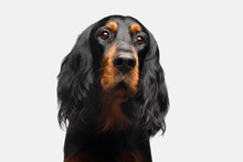 Portrait Of English Setter Dog...