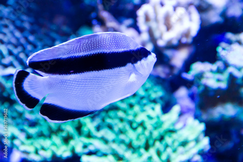 Photo Banded Angelfish also known as Black Bandit Angelfish (Apolemichthys arcuatus) i