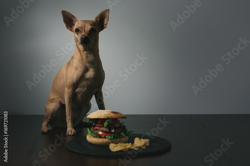 Fotografie, Obraz  Small dog in front of delicious burger